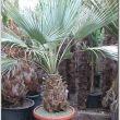 Pálma, télálló pálma XII. kerület, yukka - Mediterrán növények webáruháza