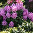 Rhododendron kertészet, télálló rhododendron 12. kerület